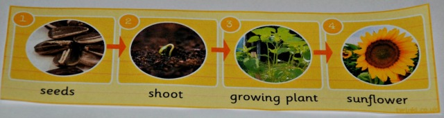 The Sunflower life cycle photo strip from Twinkl. Key Stage 1 science resource