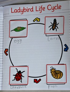 life cycle - ladybird life cycle page completed by the kids