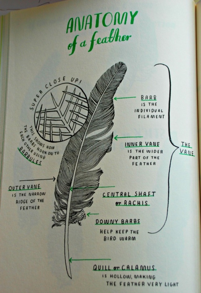 Hello Nature, the anatomy of a feather