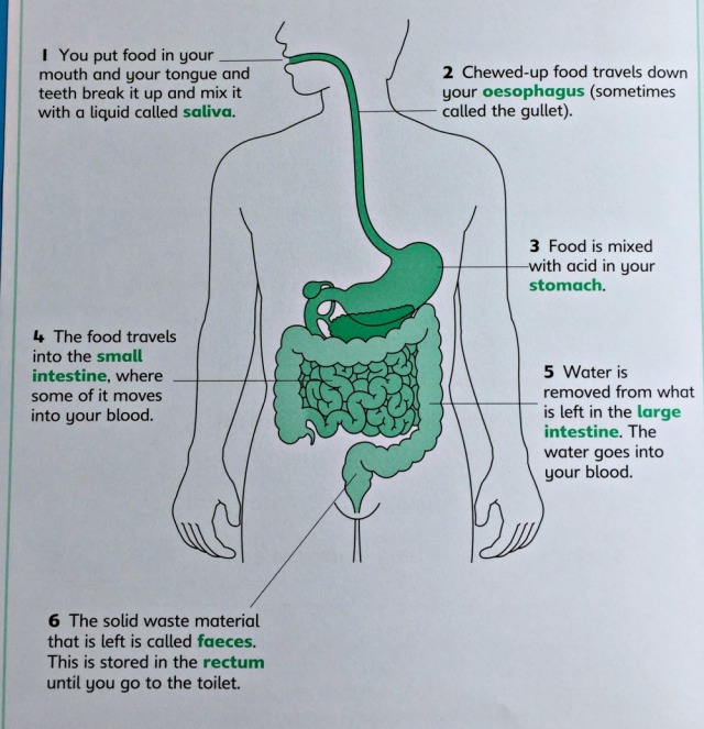 Understanding Science Our Bodies workbook from Schofield & Sims. The Digestive System