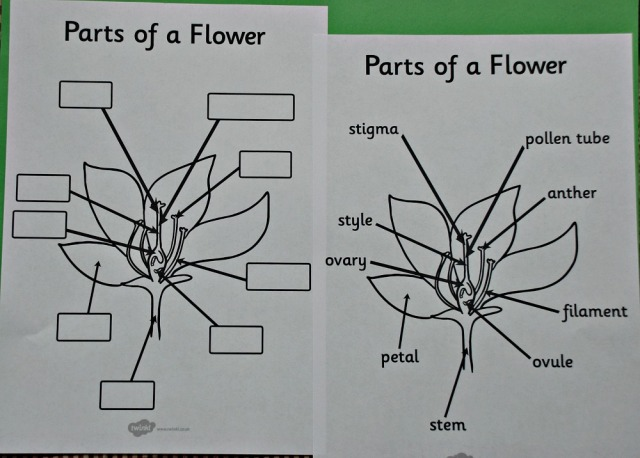 Parts of a Flower labelling activity from Twinkl Resources. Free to download