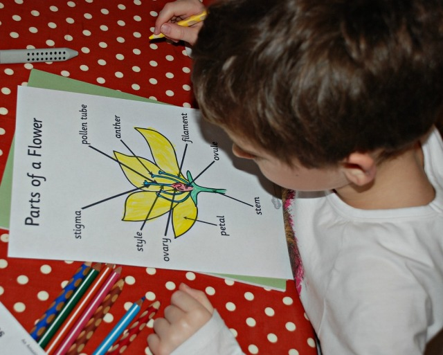 Parts of a Flower labelling activity Free to download from Twinkl Resources