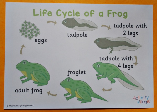 Life Cycle of a Frog poster downloaded from the Activity Village website