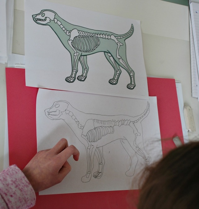 Twinkl Resources- drawing a dog's skeleton