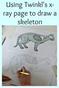 Using the x-ray pages from downloaded from Twinkl resources to practice drawing animal skeletons