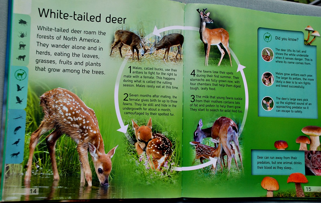 Life Cycle books example of a page layout the White-tailed deer