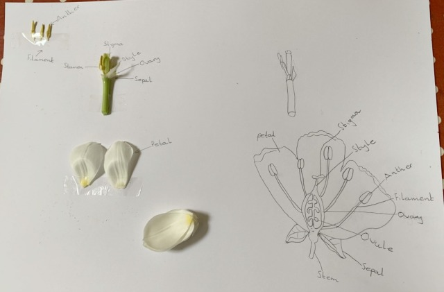 Parts of a flower page created by the kids of ofamily learning together